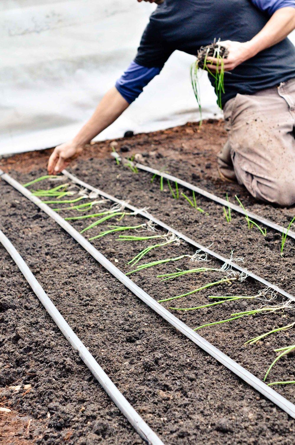 onions plantings News.jpg