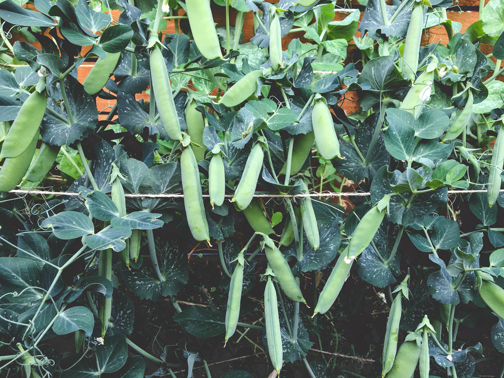 Sugar Snap Peas_Hilary Dahl_Seattle Urban Farm Co._Encyclopedia Botanica