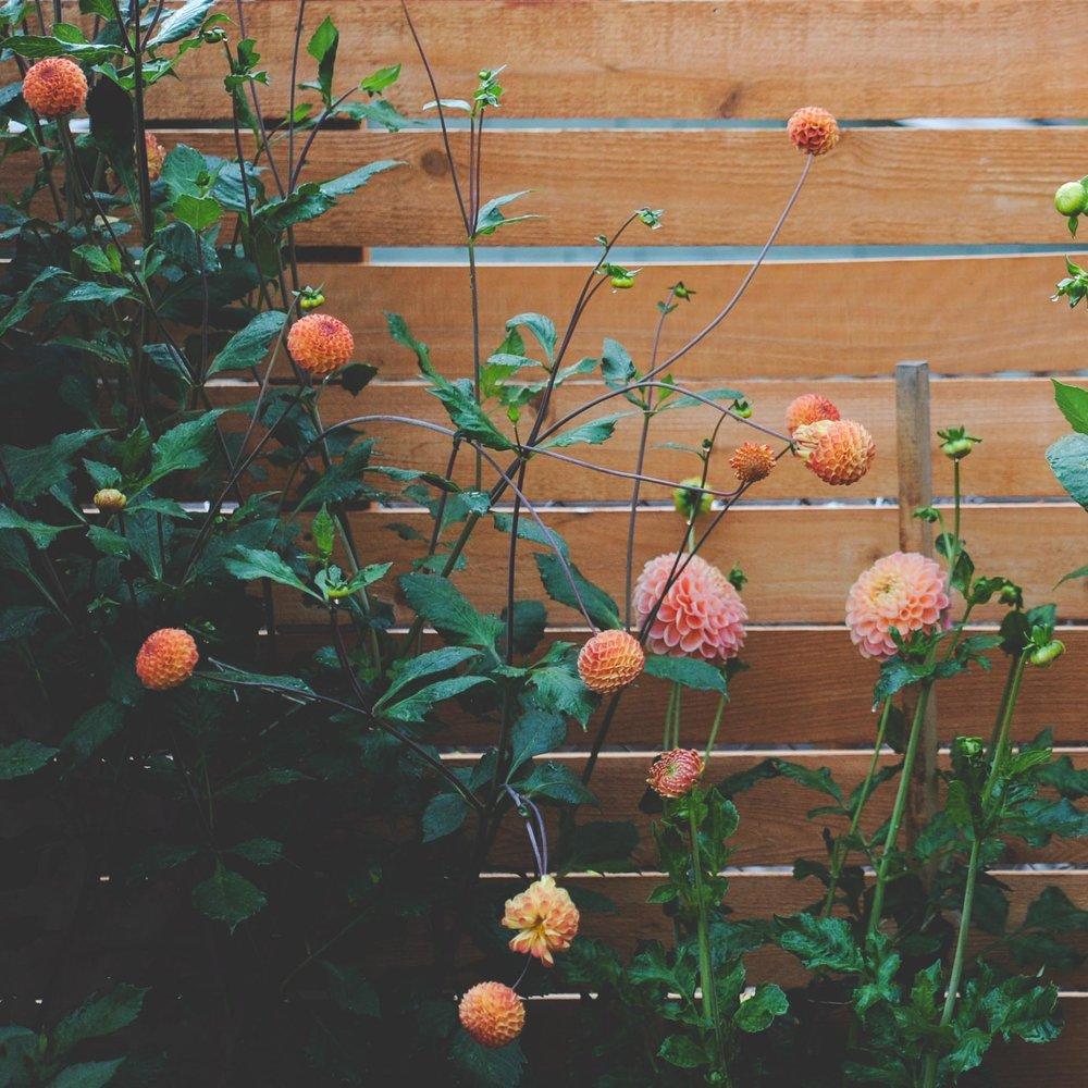 Dahlias_ginger willow.jpg