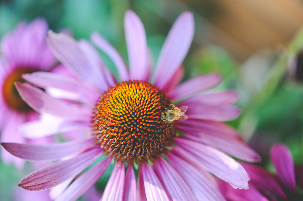 pollinator garden_Hilary Dahl_Seattle Urban Farm Co_Encyclopedia Botanica.jpg