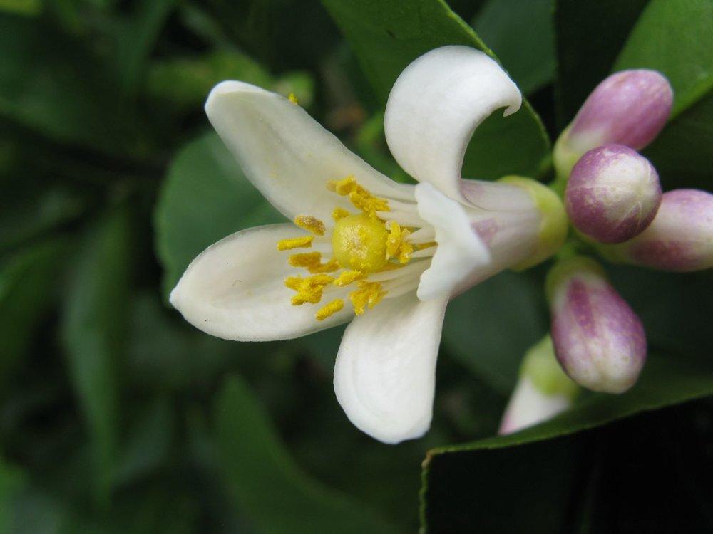 Citrus flower
