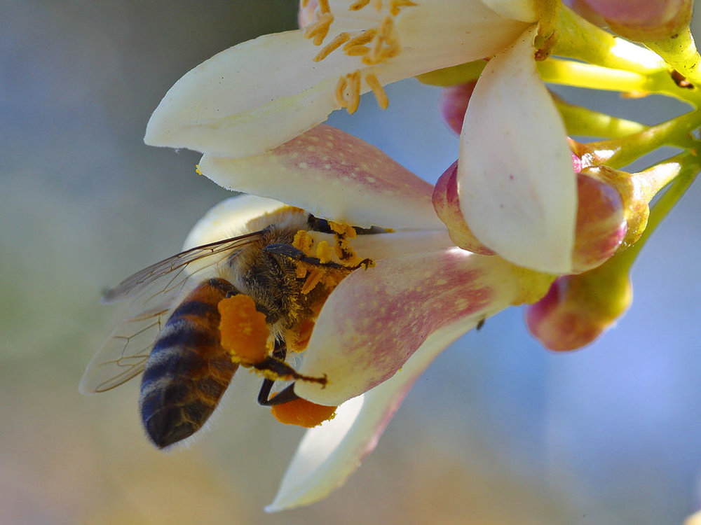 Bee pollinating a citrus flower
