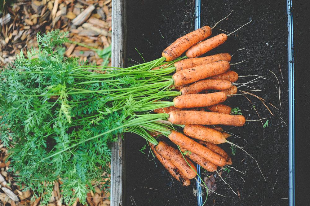 Soil Health_Carrots_Seattle Urban Farm Co.jpg