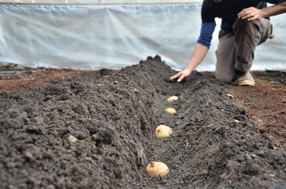 planting_potatoes_Seattle Urban Farm Co.jpg