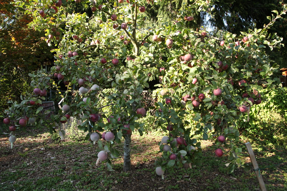 Apples trees with fruit socks