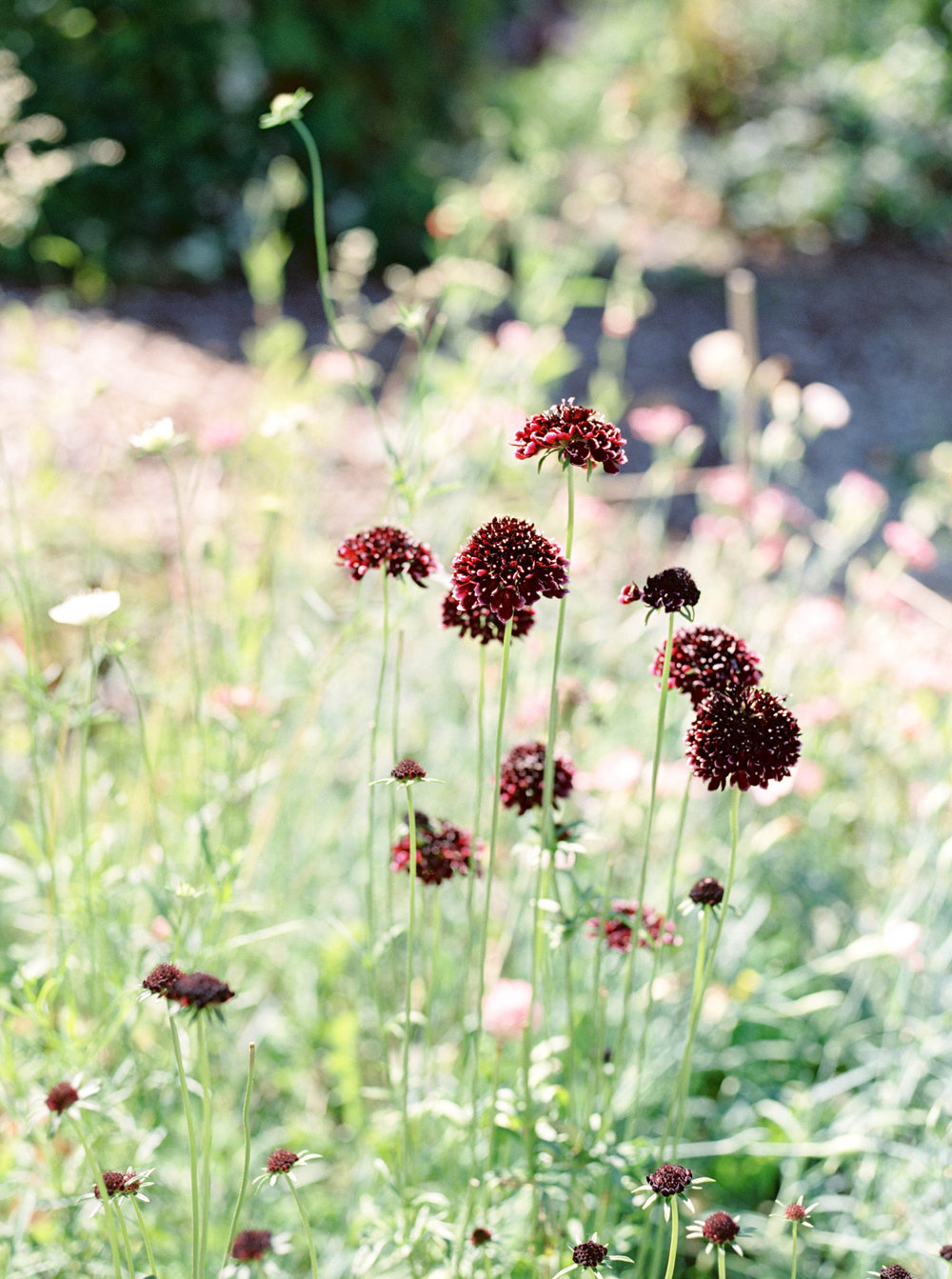 Black Knight Scabiosa