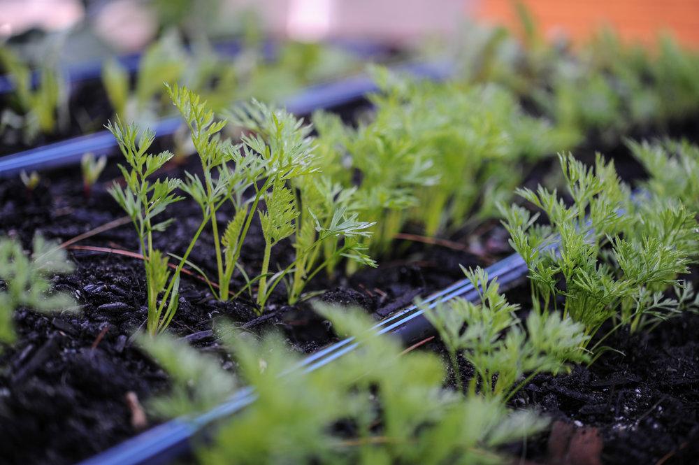 Carrots_seedlings_ Hilary Dahl_.jpg