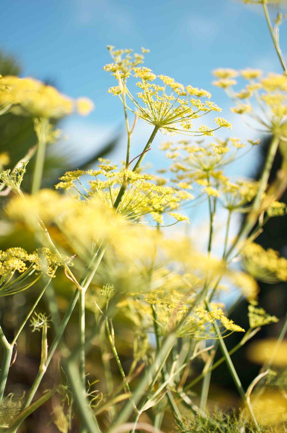 flowers in garden_fennel.jpg