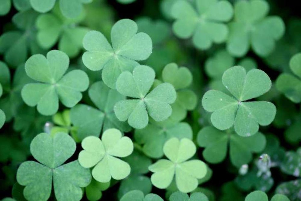 Four-leaf clovers are indeed rare - 10,000 regular three-leaf clovers to a four-leaf clover. Legend says that each leaf of the clover has a meaning: Hope, Faith, Love and Luck.