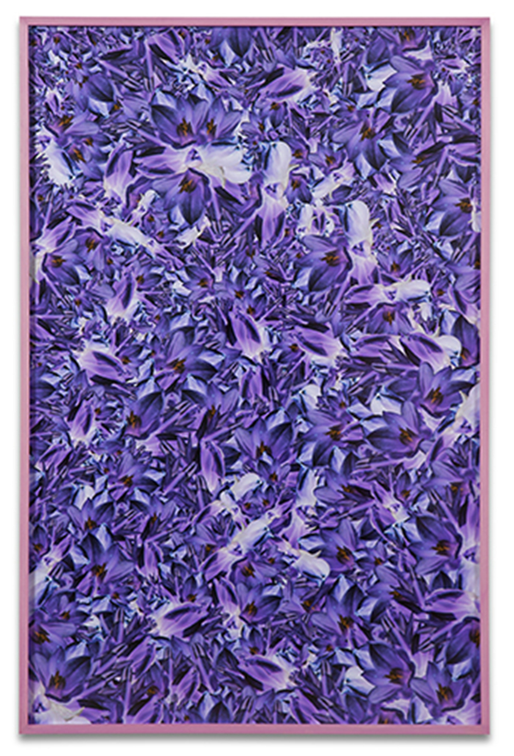 Simmons & Burke, Blue Dicks, 2013, pigment print and custom frame, 65 x 42 inches
