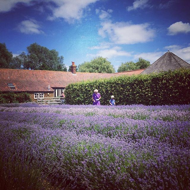 #Norfolk #Lavender #Farm