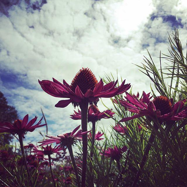 Echinacea.