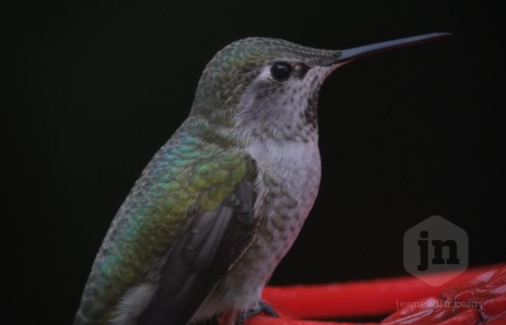 hummingbird_telescope_jennewlin_2.jpg