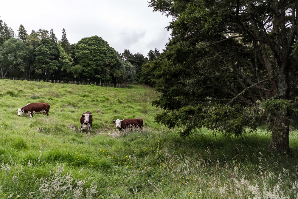 Resident Cows.