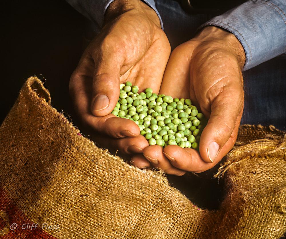 A-farmer-examining-some-peas.jpg