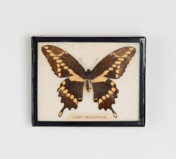 Giant Swallowtail framed specimen. More information    here   .