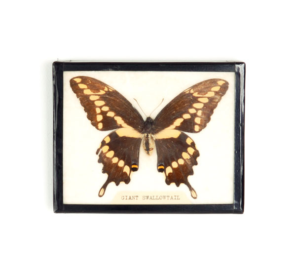 Peg has a butterfly specimen on her collage wall. I haven't asked her yet but I would not be surprised if she caught it, preserved it, and mounted it all herself. Click on photo for shopping details.