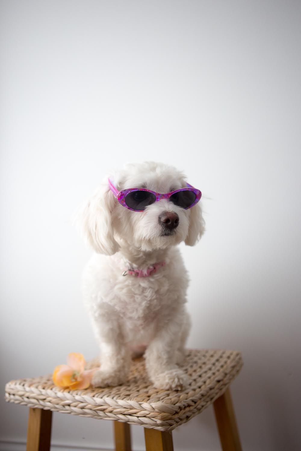 Pearl the La-Chon. Long Island Pet Photography | michruby.com