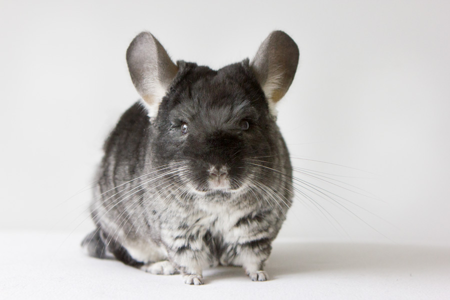 Sweet Chinchilla Long Island Pet Photography | michruby.com