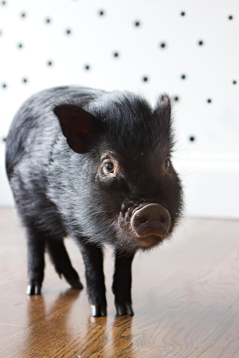 Ebenezer the pig Long Island Pet Photography | michruby.com