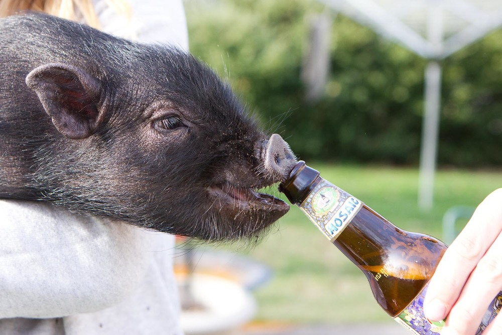 Pig + Beer Long Island Pet Photography | michruby.com