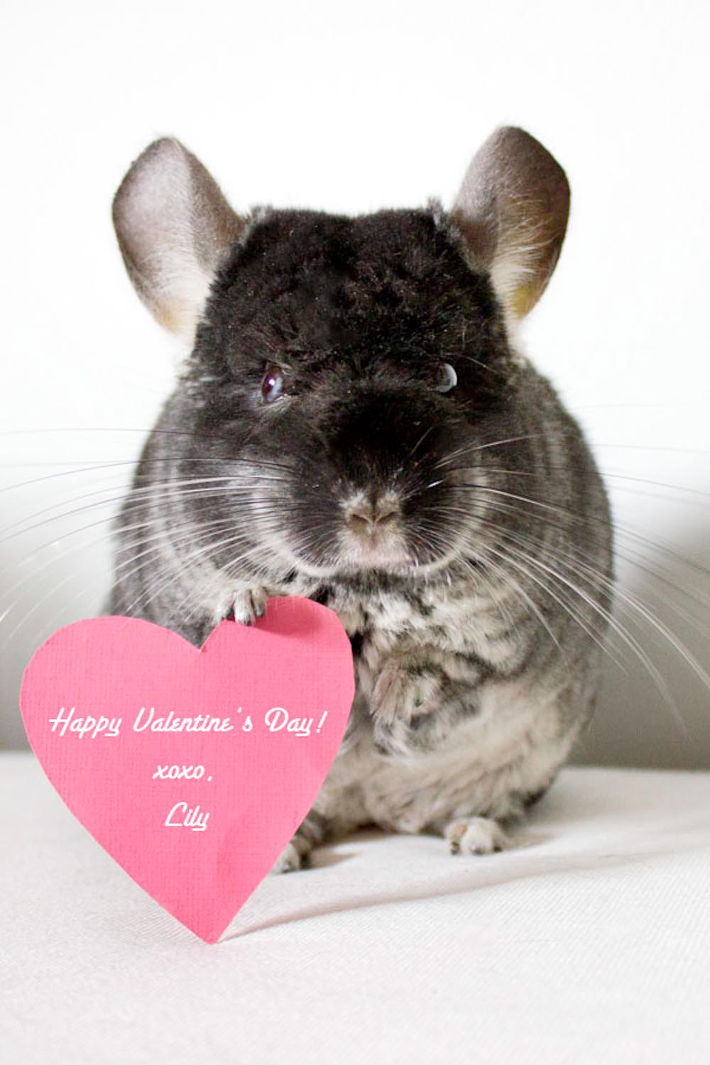Chinchilla Valentine Long Island Pet Photography | michruby.com