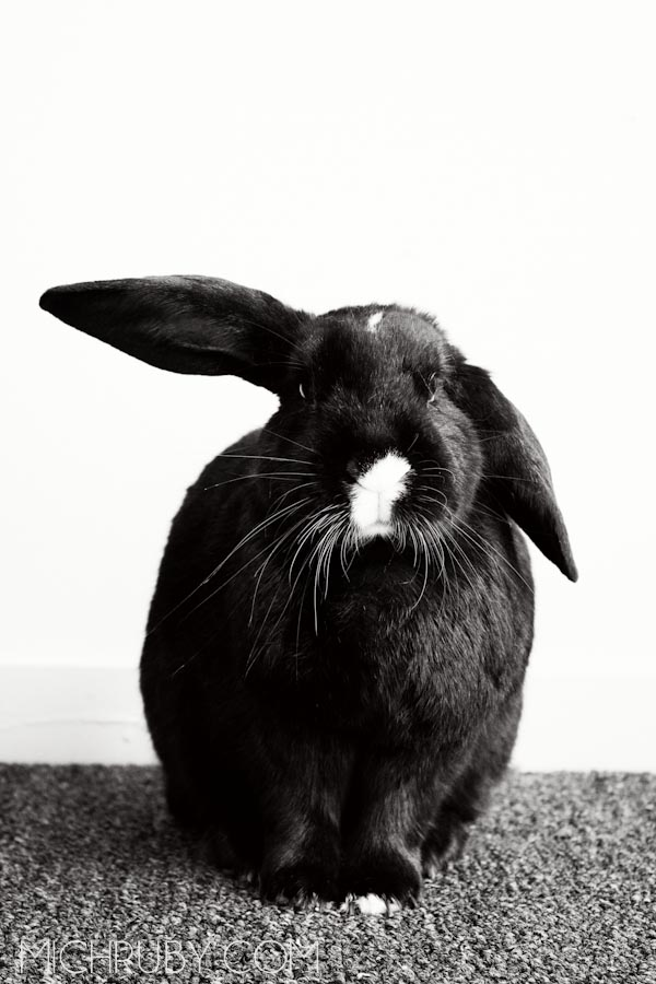 Lop Bunny Long Island Pet Photography | michruby.com