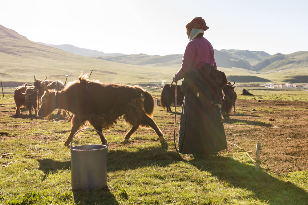 Yinzo, a 68 year old Tibetan nomad, tends her yaks first thing in the morning. The Mekong - known as the Dzachu in this part of China - is about 500 metres beyond her.