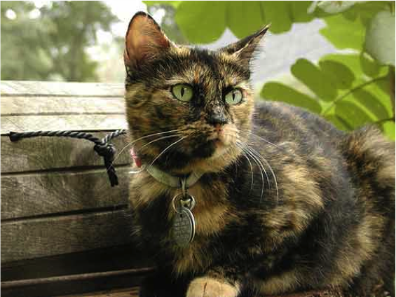Tortoiseshell cat displaying X-inactivation (Source).