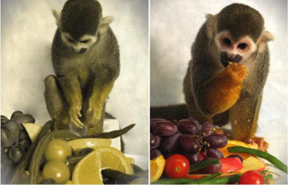Dalton the male squirrel monkey was treated with S-opsin. The picture on the left was altered to simulate what Dalton would probably have seen before the treatment, while the picture on the right is what he would have seen as a newly minted trichromat. Source: Neitz lab.
