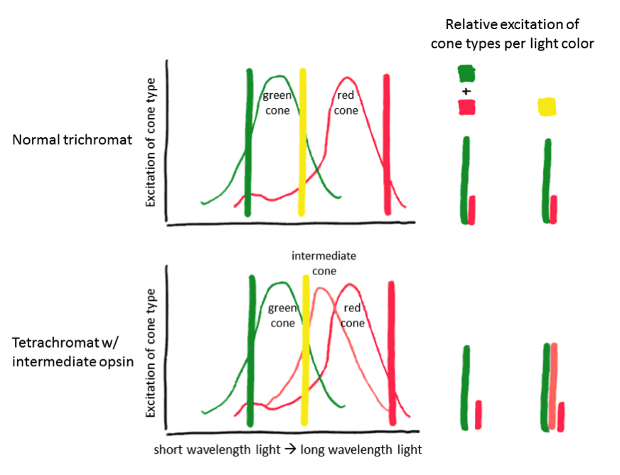 Cone excitation ratios are drawn as the height of the cone's excitation spectrum at the point of the given wavelengths. A normal trichromat will have his/her cones excited in the same ratio by yellow light of this wavelength and this particular mixture of red and green light. Even with different pairs of red and green wavelengths, you could adjust the intensity of each to excite the red and green cone cells in the desired amount and ratio. A tetrachromat, however, will find the mixture to be missing a color component. Source: S.Katta