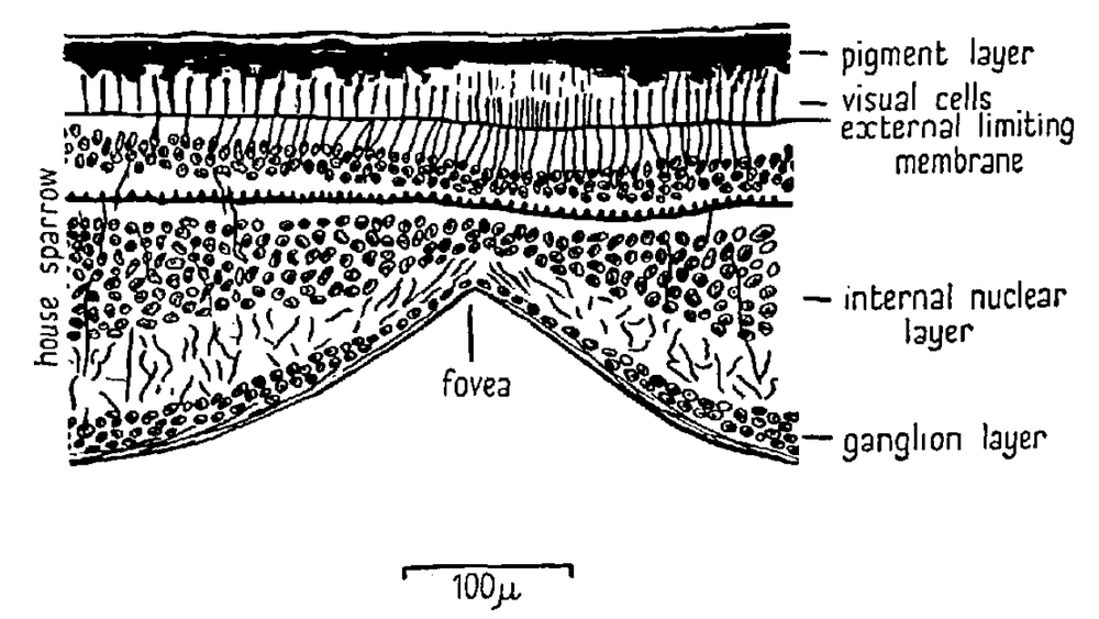 Cross-section through sparrow fovea. Source: Lockie, 1952.