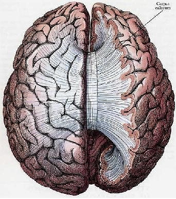 NeuWrite West -- Split Brains: Why disconnected hemispheres won\'t be ...
