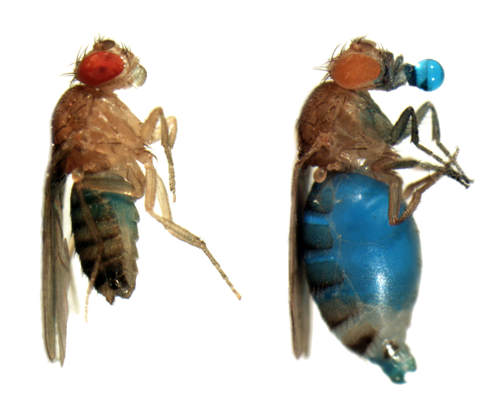 Above: A normal fly after feeding. It will stop eating available food when it is full. Right: An insatiable fly after feeding. It will continue to eat as long as food is available, ultimately resulting in death. Blue is sugar water labeled with food coloring. Image credit: Allan-Hermann Pool, Kristin Scott's Lab at UC Berkeley.