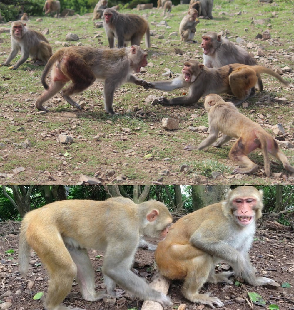 Top: Acts of aggression can result in lethal injuries in the socially living rhesus macaque monkeys. Unnecessary violence can be avoided by establishing strict dominance hierarchies in which individuals show their dominant or submissive status. Photo by Kevin Rosenfield. Bottom: Rhesus macaque monkey being displaced by another individual. The monkey on the right is displaying a fear grimace, a signal of submission from which researchers infer the dominance of the monkey on the left. Photo by Dr. Alexander Georgiev.