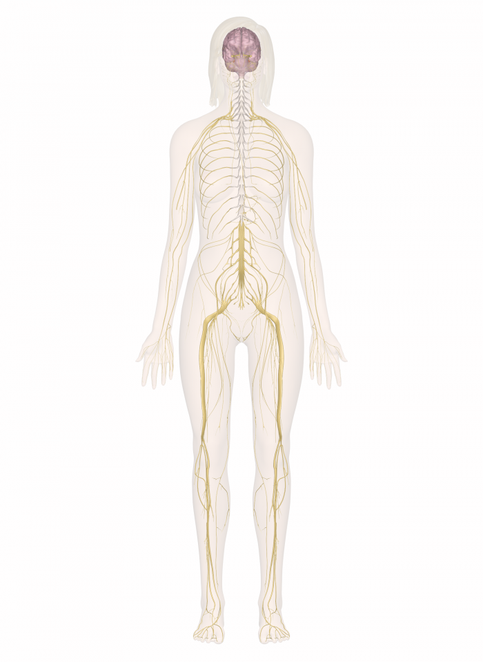 Your nervous system. Source: http://www.innerbody.com/anatomy-images/nervous_system.png
