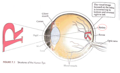 Fig. 1. Eye structure and identification of the retina