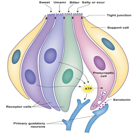 Diagram of a taste bud – shows the different types of receptors that send signals to neurons for processing.