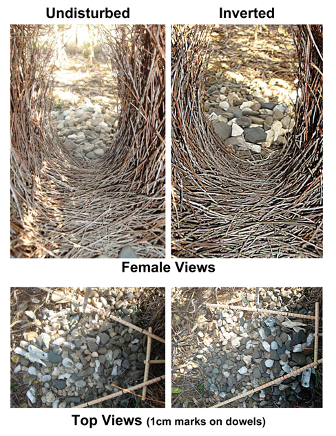 A bowerbird bower and court. Endler, Endler and Doerr 2010, Current Biology. In the left image, the rocks are arranged small to large, and in the right, large to small. Notice the difference in appearance from the female's perspective.