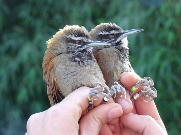 Central American wrens sing lovely, synchronized duets. Image courtesy Dr. Peter Slater and Dr. Nigel Mann.