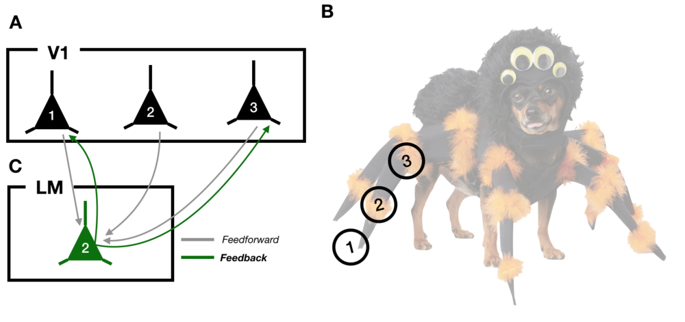 Diagram 1: A)  A schematic of 3 neurons in primary visual cortex, V1.  B)  An example visual input, the spider-dog. The circles labeled 1, 2, and 3 correspond to the parts of the image that each neuron in  (A)  responds to.  C)  An LM neuron receiving feedforward inputs from V1 (grey lines) and sending feedback projections (green lines) back to a subset of V1 neurons.