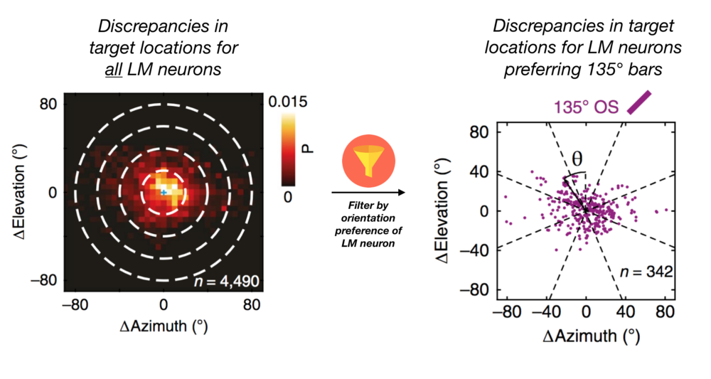 Diagram 2:  Filtering source LM neurons by orientation preference reveals systematic patterns in the region of V1 they project to. Adapted from Figure 5.