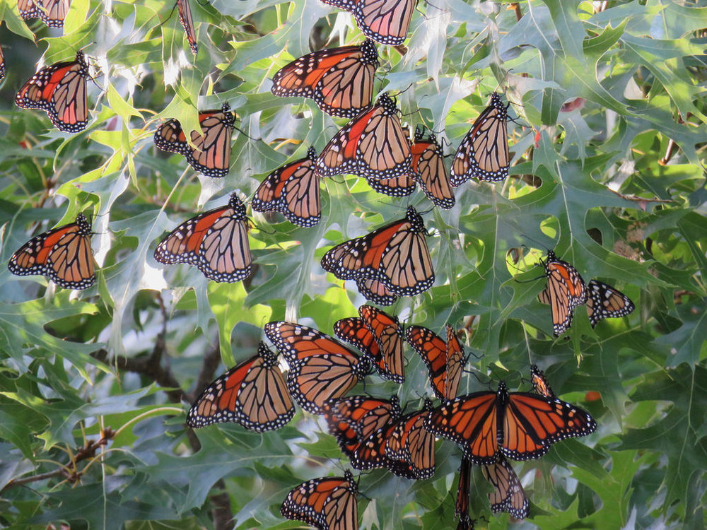 Roosting monarch butterflies. Image courtesy U.S. Fish and Wildlife Service.