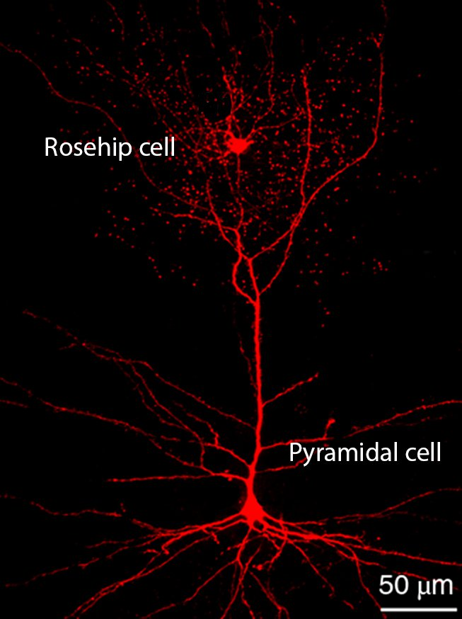 Figure: Rosehip cell synapsing on pyramidal cell apical dendrite in Layer I