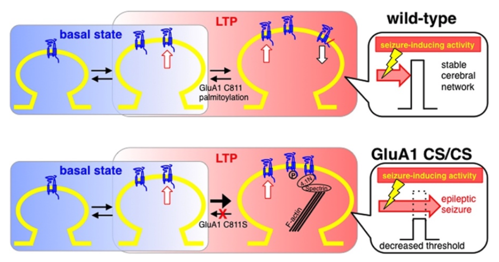 Figure 1:  LTP normally promotes AMPAR insertion at the synapse; mutating the site of GluA1 palmitoylation prevents the removal of AMPAR, leading to neurons with greater sensitivity to seizure-inducing activity (adapted from Itoh et al., 2018 Figure 10).