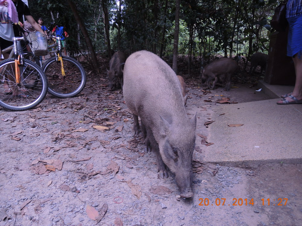 This boar nearly bit a guy's hand off. Don't feed the boar.