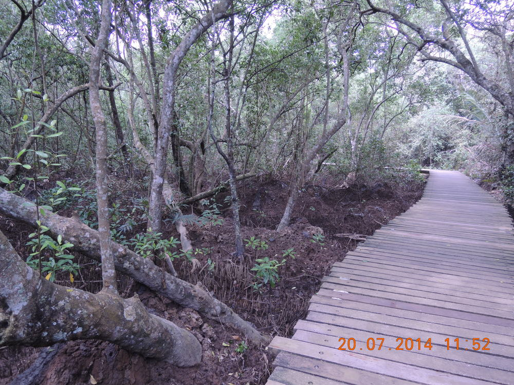 Mangrove Boardwalk with the mud lobster structures between the trunks and roots