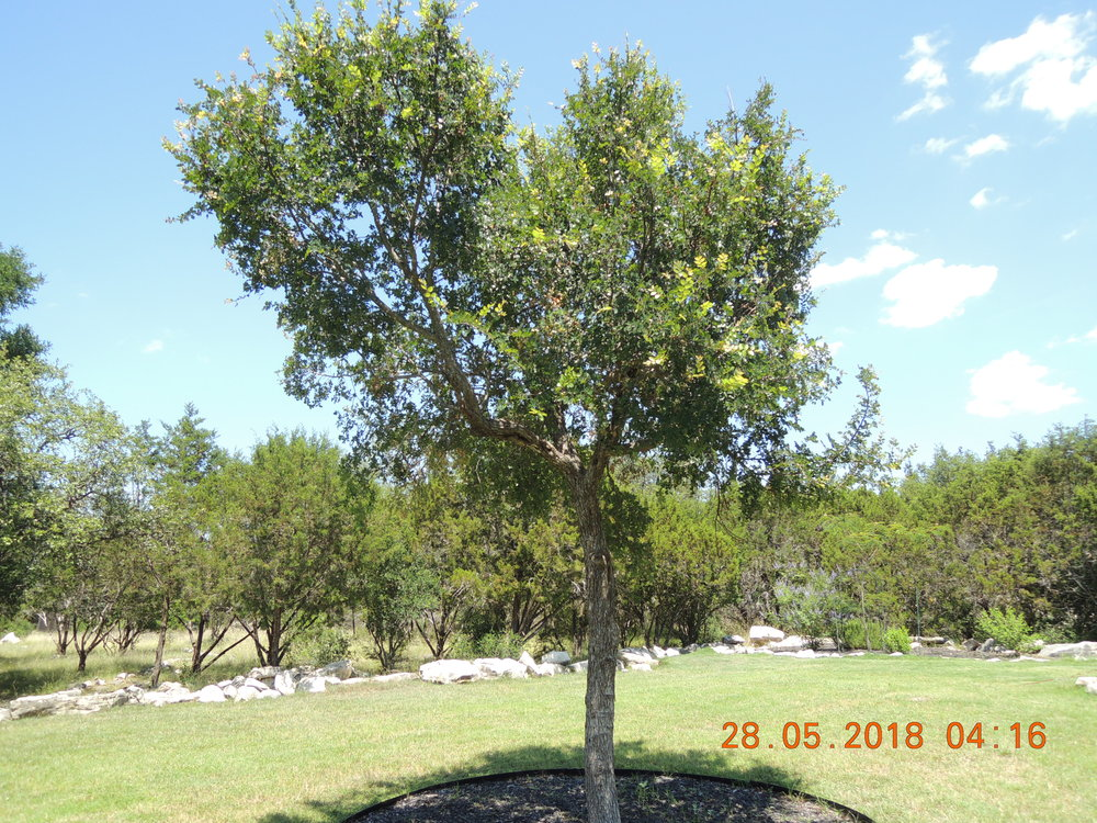 Chinese elm or post oak? What do you think?
