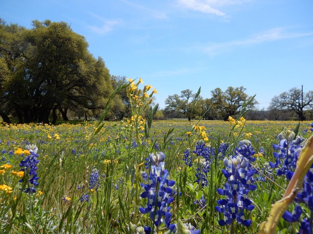 And bluebonnets aren't the only wildflowers here.