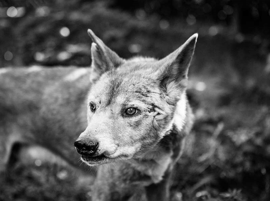 Dingo - Verhaltensforschung